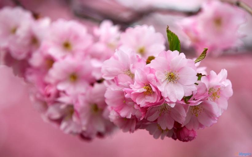 sakura-cherry-flowers-hd-wallpaper.jpg